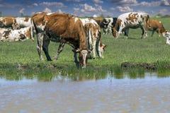 Mucche ad un posto di innaffiatura Fotografia Stock