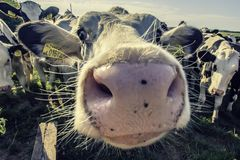 Mucche adorabili che guardano con l'interesse nella macchina fotografica fotografie stock