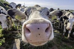 Mucche adorabili che guardano con l'interesse nella macchina fotografica fotografie stock libere da diritti