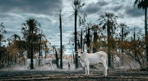Mucche affamate in una foresta tropicale bruciata fotografie stock