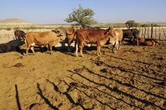 Mucche africane Immagini Stock Libere da Diritti