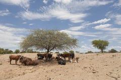 Mucche africane Fotografie Stock Libere da Diritti