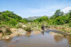 Mucche al fiume fotografia stock libera da diritti