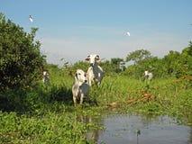 Mucche al pascolo incolto Fotografia Stock Libera da Diritti