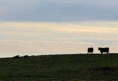 Mucche al pascolo nel Vermont Fotografie Stock