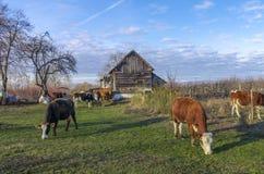 Mucche all'azienda agricola immagini stock