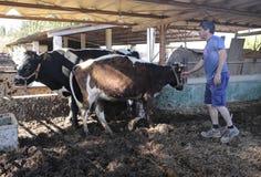 Mucche all'azienda agricola ecologica in Mallorca Fotografia Stock Libera da Diritti