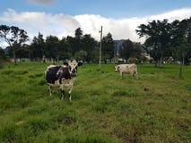 Mucche all'università nazionale di Colombia Fotografia Stock Libera da Diritti