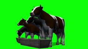 Mucche alla depressione dell'acqua - schermo verde stock footage