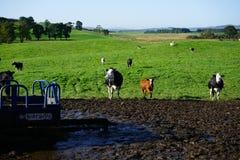 Mucche alla depressione di alimentazione immagini stock