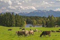 Mucche in Allgaeu Immagine Stock