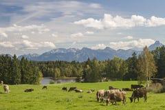 Mucche in Allgaeu Immagini Stock