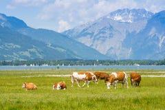 Mucche in alpi fotografia stock libera da diritti
