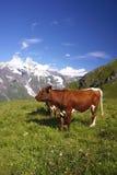 Mucche in alpi Fotografie Stock Libere da Diritti