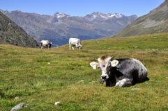 Mucche in alpi Fotografia Stock
