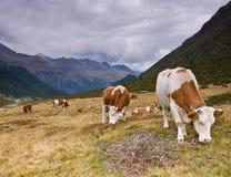 Mucche in alpi Fotografie Stock