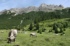 Mucche in alpi Immagine Stock
