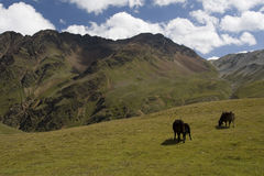 Mucche in alpi Immagini Stock Libere da Diritti