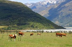 Mucche in alpi del sud Fotografia Stock