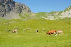 Mucche in alpi svizzere vicino a Melchsee Frutt immagini stock