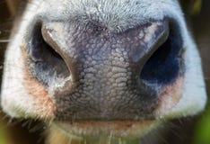 Mucche alpine Fotografie Stock Libere da Diritti