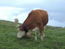 Mucche alpine Fotografia Stock Libera da Diritti