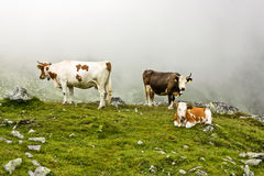 Mucche alpine Fotografie Stock