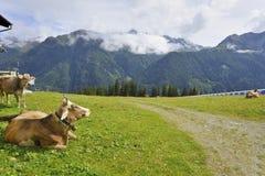 Mucche alpine Fotografia Stock