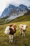 Mucche alpine che pascono ancora in un prato nelle alpi in Svizzera Immagini Stock