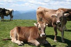 Mucche alpine, con Bell. Fotografie Stock