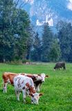 Mucche alpine con i corni, calfs, prato, pascolo, gregge davanti alla foresta, abeti, il Neuschwanstein famoso fotografia stock