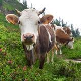 Mucche alpine con i corni nelle alpi Fotografie Stock Libere da Diritti