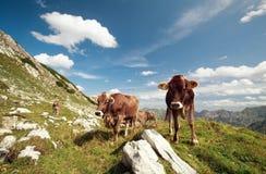 Mucche alpine in montagne Fotografie Stock