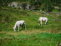 Mucche alpine in parco naturale di Alta Valle Antrona Fotografie Stock