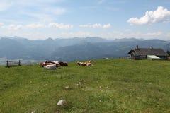 Mucche alpine sui prati Fotografia Stock Libera da Diritti