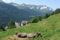 Mucche a Altanca Fotografia Stock Libera da Diritti