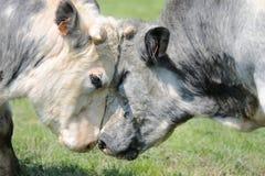 Mucche amorose Fotografie Stock Libere da Diritti
