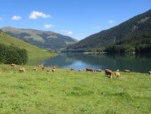 Mucche & lago Immagine Stock Libera da Diritti