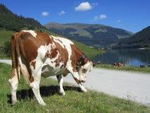 Mucche & lago Immagine Stock