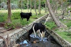 Mucche assetate ad una piantagione della noce di cocco fotografia stock libera da diritti