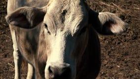 Mucche australiane sull'azienda agricola archivi video
