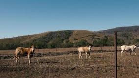 Mucche australiane sull'azienda agricola video d archivio