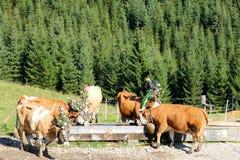 Mucche austriache con un'acqua potabile del copricapo da una depressione di legno Fotografie Stock
