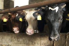 mucche in azienda agricola Immagini Stock