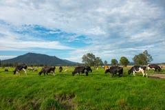 mucche in azienda agricola Immagini Stock Libere da Diritti