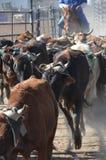 Mucche in bestiame Fotografie Stock Libere da Diritti