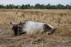 Mucche bianche Fotografie Stock Libere da Diritti
