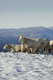 Mucche bianche immagine stock