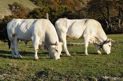 Mucche bianche che pascono Immagine Stock