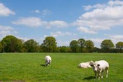 Mucche bianche nel paesaggio olandese rurale Immagine Stock